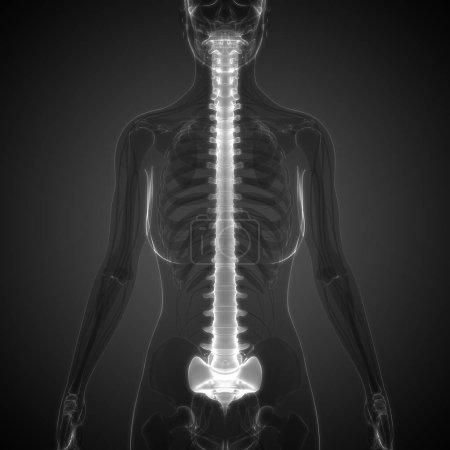 Photo pour Illustration 3d des organes du corps humain, colonne vertébrale - image libre de droit