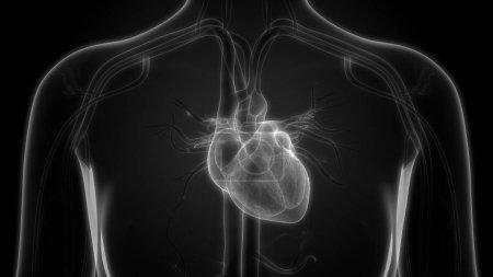 Photo pour Organes du corps humain (anatomie cardiaque) - image libre de droit