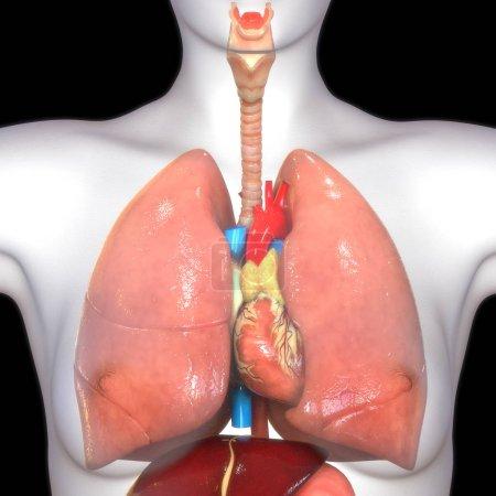 Photo pour Poumons humains illustration numérique sur fond noir - image libre de droit