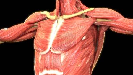Photo pour Muscles humains 3d illustration numérique - image libre de droit
