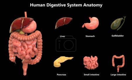 Photo pour Illustration 3D de l'anatomie du système des organes humains - image libre de droit