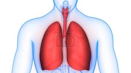 Photo pour Organes du corps humain (poumons) 3D - image libre de droit