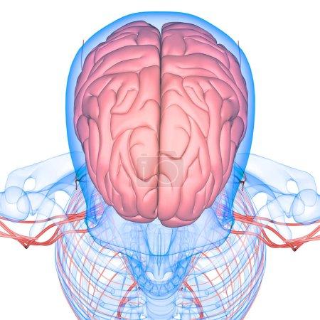 Photo pour Organe central de l'anatomie cérébrale du système nerveux humain. 3D - image libre de droit