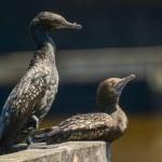 Cormorants, birds in Melbourne...