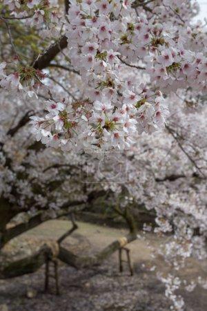 Photo for Closeup view of blossoming sakura tree in Osaka city, Japan - Royalty Free Image