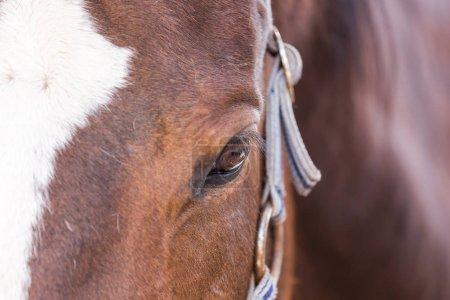 """Photo pour Vue rapprochée de l """"œil de cheval brun - image libre de droit"""