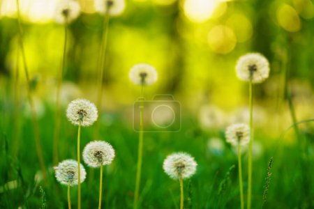 Photo for Dandelions, natural green blurred spring background, selective focus. - Royalty Free Image