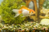 Goldfish in freshwater aquarium with green beautiful planted tropical. fish in freshwater aquarium with green beautiful planted tropical
