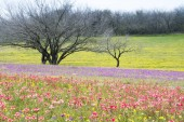 Spring Wildflowers in Texas Hill Country