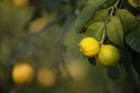 Photo pour Citrons (fruits, agrumes) sur les branches d'un arbre. Prise de vue en plein jour, faible profondeur de champ, netteté sélective. Place pour le texte - image libre de droit