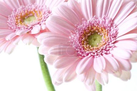 Photo pour Fleurs de gerbera rose isolés - image libre de droit