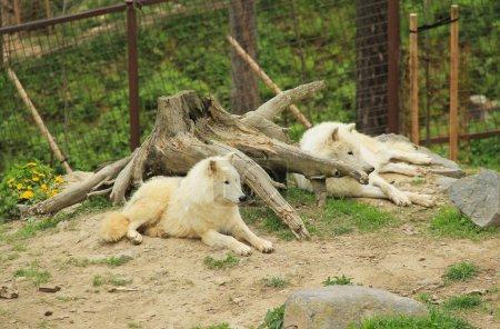 Photo pour Deux beaux loups arctiques blancs (Canis lupus arctos) se reposant près de la grosse souche dans le ZOO - image libre de droit
