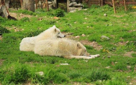 Photo pour Deux beaux loups arctiques blancs (Canis lupus arctos) ayant du repos - image libre de droit