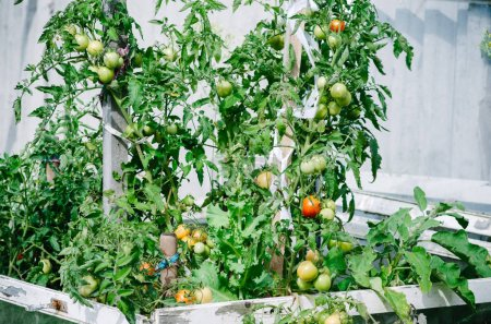 Ripe natural tomatoes growing on a branch in a garden