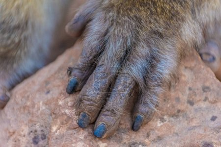 Detail of a hand of a wild barbary ape in Morocco...