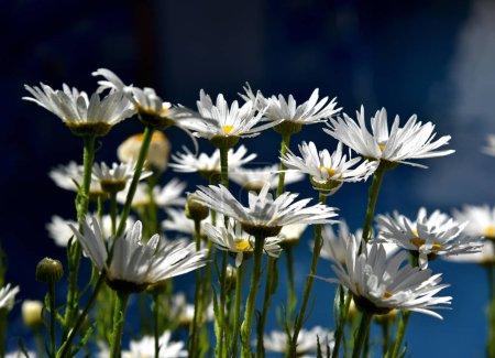 daisies in the garden backlight