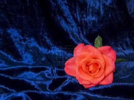 Foto de Una rosa solitaria sobre un fondo azul satinado - Imagen libre de derechos