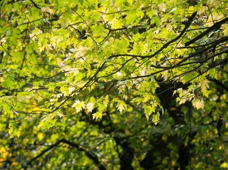 Photo pour Coloré vert & jaune automne feuille d'érable sur un arbre - image libre de droit
