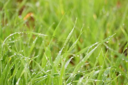 Photo for Close up of green grass with water drops - Royalty Free Image