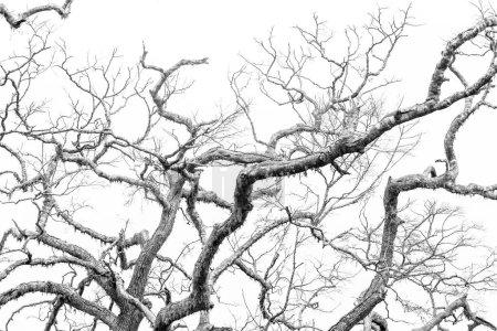 Photo pour Belles Branches d'arbres, recouverts de mousse, sur fond blanc - image libre de droit