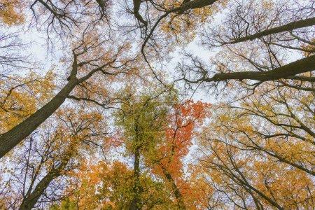 Photo pour Vue en perspective des arbres colorés de l'automne, vue ascendante. Forêt d'automne. Ciel bleu et soleil brillant à travers les branches des arbres, paysage pittoresque. Contexte naturel - image libre de droit