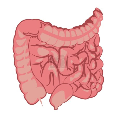 Illustration for Colon, intestinal tract  system vector illustration - Royalty Free Image
