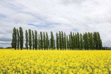 Photo pour Rangée d'arbres dans les champs de colza, Pontigny, Bourgogne, France - image libre de droit