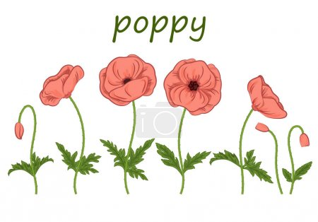 Photo for Botanical kit. Flowers. Poppy flowers-isolated on white background. Floral Botanical illustration for decor design or holiday greeting template - Royalty Free Image