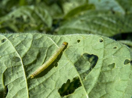 Photo for A worm eating the leaf of soy plant - Royalty Free Image