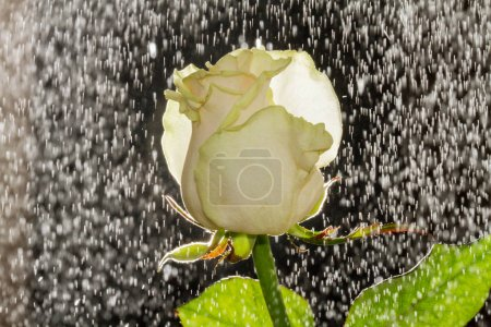 Photo for Blooming white rose with falling water drops - Royalty Free Image