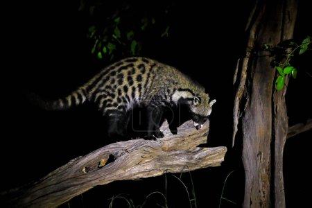 Photo pour African Civet, Civettictis Civetta, Moremi Game Reserve, Botswana, Afrique . - image libre de droit
