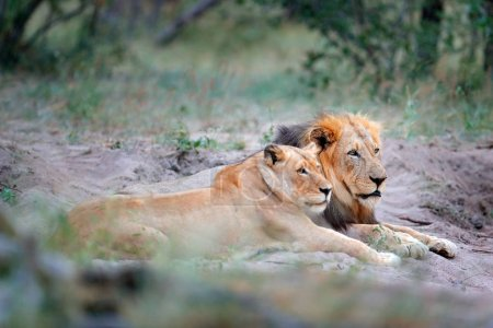 Portrait of pair of African lions, Panthera leo, Chobe National Park, Botswana, Africa.