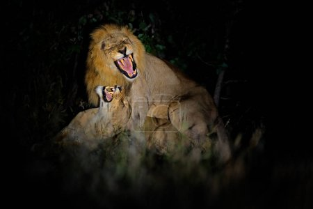 Lions, Panthera leo bleyenberghi, mating action scene in Kruger National Park, Africa.