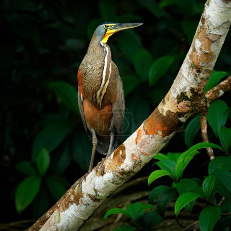 Bare-throated Tiger-Heron, Tigrisoma mexicanum, in natural green vegetation.