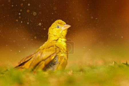 Yellow-bellied Greenbul, Chlorocichla flaviventris, African song bird splashing in water, Chobe National Park, Botswana, Africa.