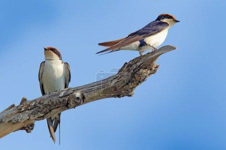 Wire-tailed swallows, Hirundo smithii, two birds sitting on tree branch, Botswana, Africa.
