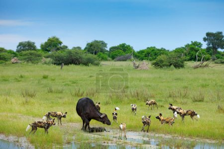 Wild Dogs Hunting in Botswana, buffalo cow and cal...