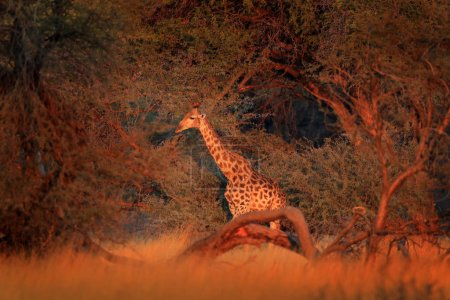 Giraffe in forest with big trees, evening light, sunset.