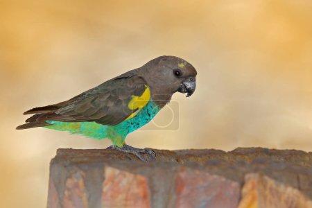 Meyers parrot, Poicephalus meyeri, green and grey exotic bird sitting on tree, Botswana, Africa.