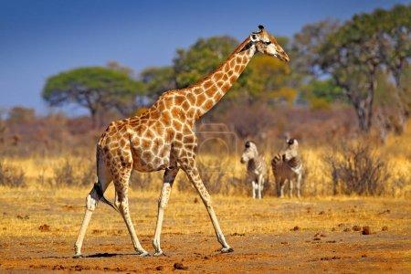 Photo pour Silhouette de girafe idyllique avec coucher de soleil orange du soir, Botswana, Afrique . - image libre de droit