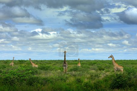 Five giraffes near the river water. Green vegetation with big animals. Wildlife scene from nature. Evening light in the forest, Botswana, Africa.