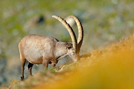 Alpine Ibex Capra ibex in