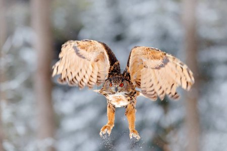Owl starts from snow. Flying Eurasian Eagle owl with open wings in snowy forest during cold winter. Wildlife from Europe, Germany. Bird action scene.