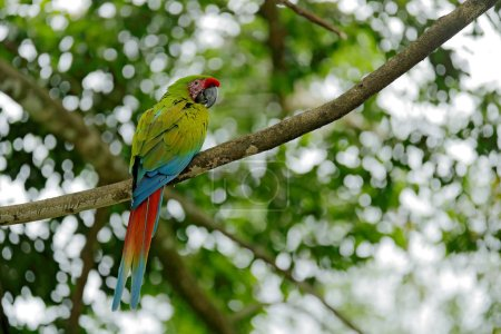 Photo for Green parrot Great-Green Macaw, Ara ambigua on pal tree. Wild rare bird in the nature habitat, sitting on the branch in Costa Rica. Wildlife scene, feeding. - Royalty Free Image