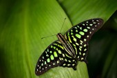 Tailed jay, Graphium agamemnon, sitting on leaves. Insect in the dark tropical forest, nature habitat. Green butterfly on green leaves.