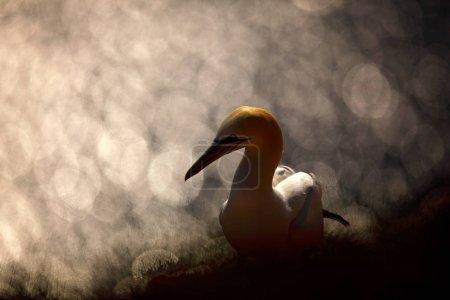 Photo pour Vue d'art sur les oiseaux. Fou de Bassan, portrait de détail d'animnal mer assis sur le nid dans l'herbe, avec de l'eau de mer d'un bleu foncé dans le fond, l'île de Helgoland, Allemagne. - image libre de droit