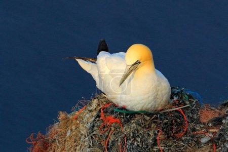 Photo pour Assis sur les œufs dans la poubelle en plastique fou de Bassan niche. Scène de la faune sauvage de la nature. Coucher de soleil, comportements d'oiseau sur la falaise au-dessus de l'eau de mer d'un bleu foncé. Animal d'Helgoland, Allemagne. - image libre de droit