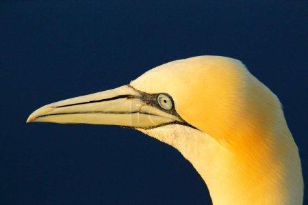 Photo pour Fou de Bassan, portrait tête détail des oiseaux de mer assis sur le nid, avec de l'eau de mer d'un bleu foncé dans le fond, Royaume-Uni. - image libre de droit