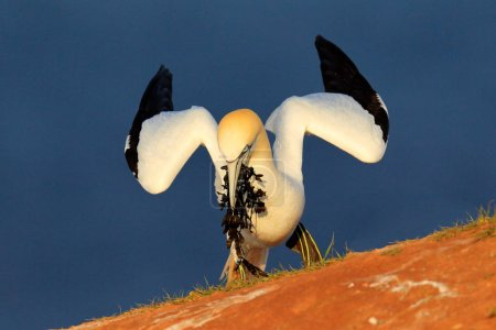 Northern gannet with nesting material in the bill, with dark blue sea water in the background, Helgoland island, Germany. Bird on the cliff, morning light.