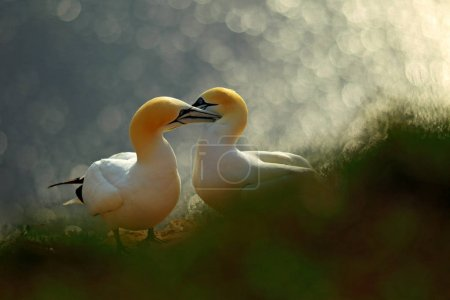 Photo pour Life on cliff. Portrait of pair of Northern Gannet, Sula bassana, evening orange light in the background. Two birds love in sunset, animal love behaviour. - image libre de droit